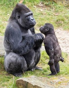 Mommy why can't i go? You're not old enough but everybody else is going - Tier - tierbabys Cute Funny Animals, Cute Baby Animals, Primates, Mammals, Nature Animals, Animals And Pets, Strange Animals, Wildlife Nature, Wild Animals