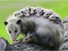 only marsupial native to North America - the opossum.The only marsupial native to North America - the opossum. Nature Animals, Animals And Pets, Wild Animals, Rainforest Animals, Nocturnal Animals, Beautiful Creatures, Animals Beautiful, Majestic Animals, Beautiful Beautiful