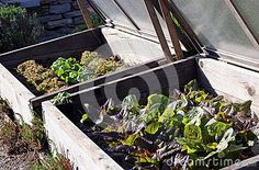 Hotbed With Radicchio And Lettuce In The Vegetable Garden - Download From Over 49 Million High Quality Stock Photos, Images, Vectors. Sign up for FREE today. Image: 68112060