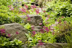 Primula in the Rock Garden (photo by Ivo M. Vermeulen)
