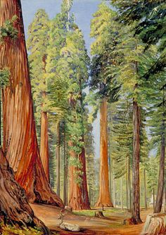 The Calaveras Grove of the Big Tree, or Wellingtonia, in the evening, Marianne North