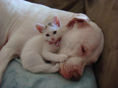 a kitty and her pit bull