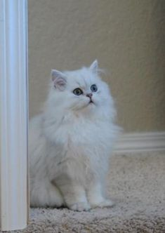 Chinchilla Silver Persian- Blaze