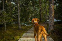 our trip Vizsla, Dogs, Photography, Fotografie, Pet Dogs, Photography Business, Doggies, Photo Shoot, Dog