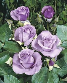 Purple roses. That's so beautiful.