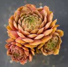 Reminds me of the best of autumn foliage!  Sempervivum achalur - from Simply Succulents.