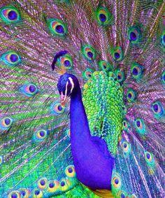 Positive & Inspirational Quotes: Proud Peacock! Peacock Painting, Peacock Art, Peacock Feathers, Pretty Birds, Beautiful Birds, Animals Beautiful, Exotic Birds, Colorful Birds, Pfau Tattoo