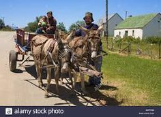 Image result for donkeys in south africa