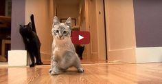 Этот котенок родился инвалидом. Но то, что он делает — мотивация для всех!