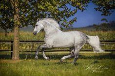 (87) Warmblood stallions in SA
