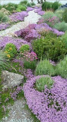 Thyme, lavender, Galardia, Armeria or sea thrift, blue fescue, mugo pine