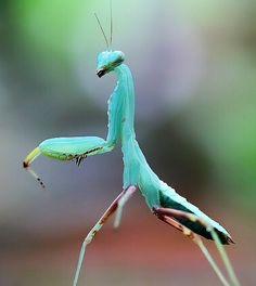 Blue Mantis