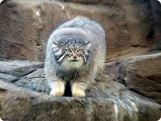 Pallas's Cat (Otocolobus manul or Felis manul) Unusual Animals, Rare Animals, Animals Beautiful, Funny Animals, Beautiful Creatures, Zoo Animals, Felis Manul, Manul Cat, Cat Species