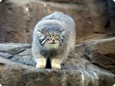 The Pallas Cat #ASGvets