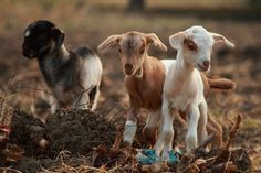 Baby goats...