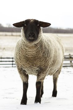 Items op Etsy die op Animal Photography Sheep Ewe and Lamb lijken Wildlife Photography, Animal Photography, Scottish Animals, Suffolk Sheep, Primitive Sheep, Sheep Paintings, Sheep Art, Cute Sheep, Barnyard Animals