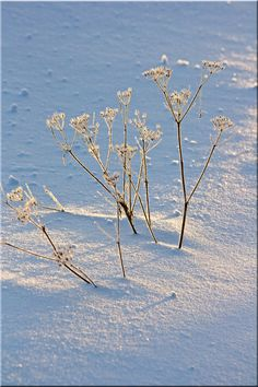 Winter flowers on the snow  Inari Lappi-Lapland Finland Photo Aili Alaiso