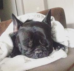 Gio  Franse Bulldog | Pawshake