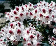 """Sapporo Rhododendron - Pale Purple to White/Purplish-Red - 4"""" Pot by Hirts: Trees & Shrubs. Save 20 Off!. $7.99. Prefers part shade to shade. Flowers open pale purple in late-midseason and quickly turn white with a strong blotch of deep purplish-red. Hardy in zones 6-9. Immediate shipping in 4"""" Pot. Compact, somewhat open habit. Beautiful very pale pink flowers with a prominent dark blotch in May. A stunning new variety bred by Hachmann in Germany. Hardy in zones 6-9."""