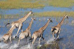 Leggy giraffes, Botswana