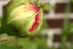Protect roses from damage at the first sign of pests.