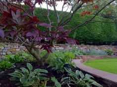 New planting under beautiful Acer.