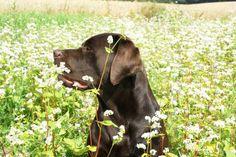 Chocolate Labrador Retriever BOOMERs flower power