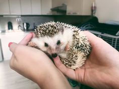 Read about how to take care of your hedgie ^^