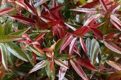 Wintergroene heester: Leucothoe keiskei 'Opstal50' (BURNING LOVE)