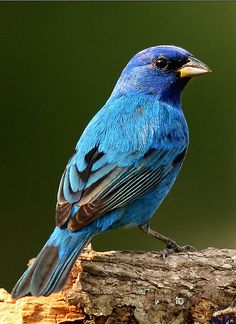 Indigo bunting (male). Small finch with brilliant, almost iridescent, blue plumage. Crown is darker blue with a purple tint. Wings and tail are black with blue edges. Feeds on insects, larvae, grains, seeds, berries.