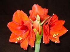 Amaryllis, Red Flower, Red, Flower