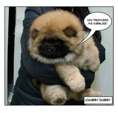 I so want a chow chow.  They're like little bears.