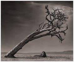 Bid now on Lion Under Leaning Tree by Nick Brandt. View a wide Variety of artworks by Nick Brandt, now available for sale on artnet Auctions. Nick Brandt, Wildlife Photography, Animal Photography, Focus Photography, Artistic Photography, Landscape Photography, Photo Animaliere, Majestic Animals, Natural World