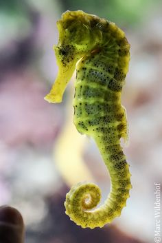 these are the kind of sea horses the aquarium is going to have