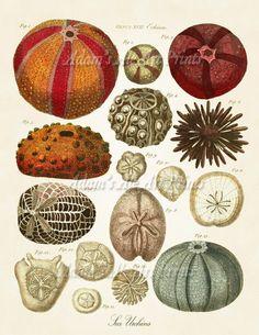 Sea urchins art print Vintage Nautical art print old prints Ocean Decor Natural History art sea life art antique prints Victorian art beach Ernst Haeckel, Antique Prints, Vintage Prints, Vintage Style, Plage Art Mural, Sticker Art, Illustration Botanique, Illustration Art, Sea Life Art