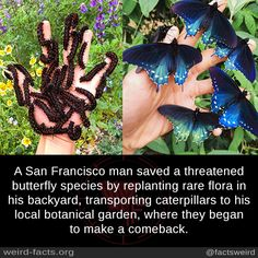 A San Francisco man saved a threatened butterfly species by replanting rare flor. - A San Francisco man saved a threatened butterfly species by replanting rare flora in his backyard, - Funny Animals, Cute Animals, Butterfly Species, Butterfly Facts, Butterfly Quotes, Amor Animal, Save Our Earth, Unbelievable Facts, Amazing Facts