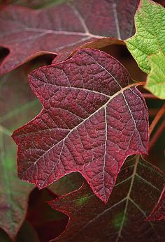 Pan global plants, gloucestershire: Leaf of hydrangea quercifolia 'alice'