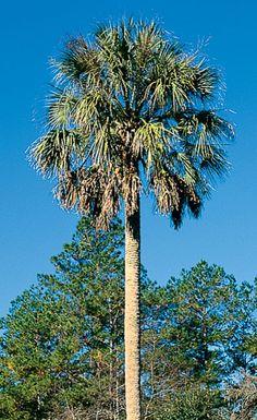 state tree (sabal palm)
