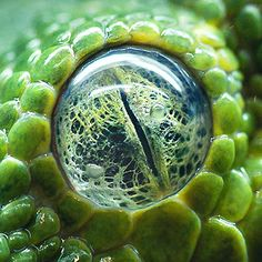 The eye of a green tree python.