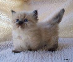 A Munchkin cat