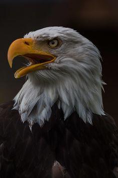 Eagle Face, Bald Eagle, Eagle Head, Elk Images, Desenhos Hanna Barbera, Eagle Artwork, Eagle Drawing, Eagle Wallpaper, Ancient Greek Sculpture