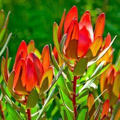 Leucadendron Archives - Protea World All Flowers, Pretty Flowers, Yellow Flowers, Air Plants, Garden Plants, Protea Art, Gold Coast Australia, Australian Flowers, Garden Inspiration