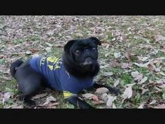 This Pug is amazing!