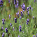Trükk, amivel kékre színezheted a hortenziát | Balkonada Plants, Plant, Planets
