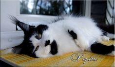 Langstteich´s V´Queen Pepita, black harlequin Maine Coon