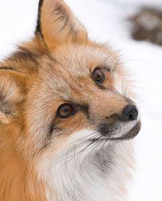 Fox World : Red Fox by Gary Harden