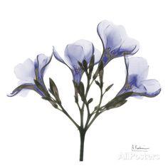 Crocus's in Purple Art by Albert Koetsier at AllPosters.com