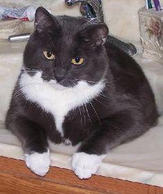 Fat Cat Cute Cats Pinterest