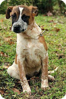 mastiff australian cattle dog mix