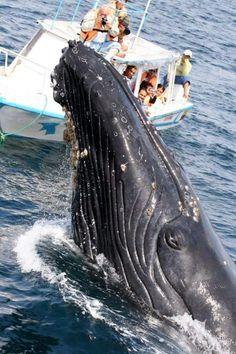Het grootste dier der oceanen , de blauwe vinvis.